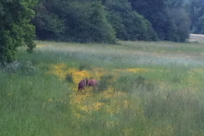 Rutting deer on the Hampshire Bakers Round