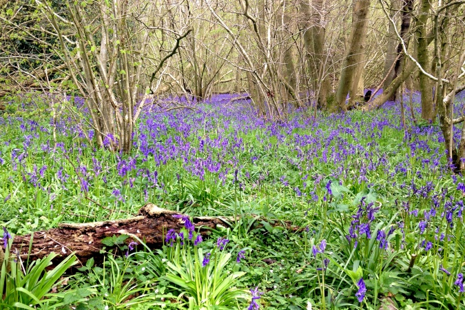 Bluebells on The Keys to the Kingdom circuit