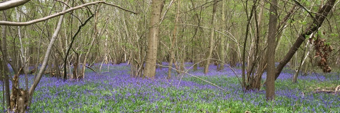 Bluebells in Binfield